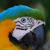 Blue and Gold Macau Parrot Bird Photo