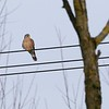 Male Kestrel at Great Shefford at approx 100 yrds