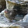 Baby Cowbird Bath