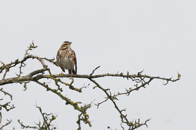 A Distant Redwing at Kingsclere