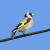 Goldfinch at Otmoor 18th April 2017