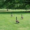 Branta canadensis - Canada geese 1