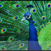 Peacock - Painted