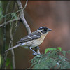 Female Black-headed Grosbeak ~ Pheucticus melanocephalus