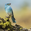 Male Mountain Bluebird with Ant