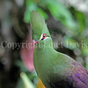 Tauraco persa – Guinea turaco 3