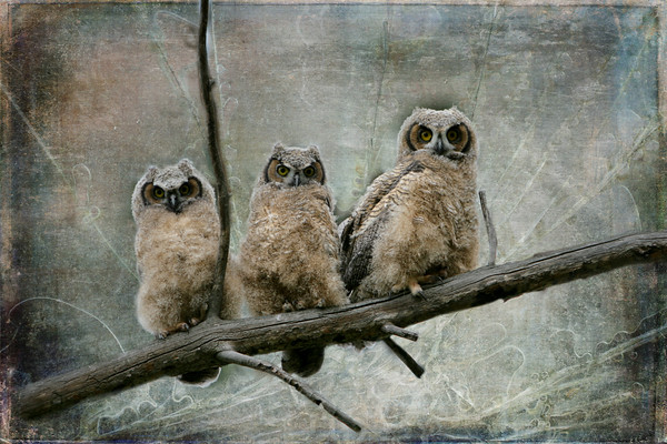 Young Great Horned Owls getting ready to fledge