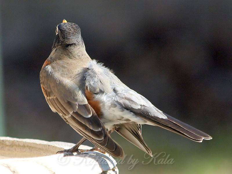 Bizarre American Robin With Aberrant Leucistic feathers View 2