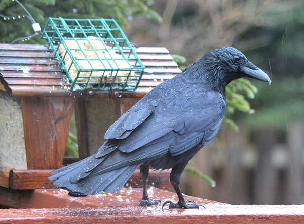 American Crow in the rain