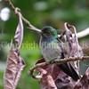 Amazilia decora – Charming hummingbird 1