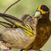 Male Evening Grosbeak Feeds Fledgling