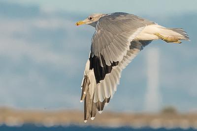Western Gull in Flight