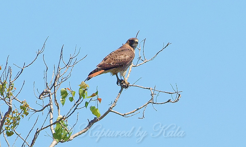 Second Red-tailed Hawk