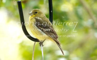 Yellow Finch-3