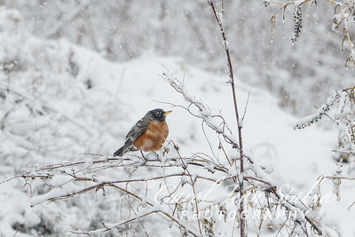 This American Robin was perched on a tree during the  snow storm at Dyke Marsh in Alexandria, VA on March 5, 2015.