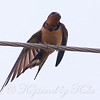Barn Swallow Calisthenics