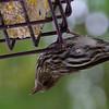 Pine Siskin (female) ~ Carduelis pinus