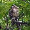 Finally, A Third Baby Hawk View 1