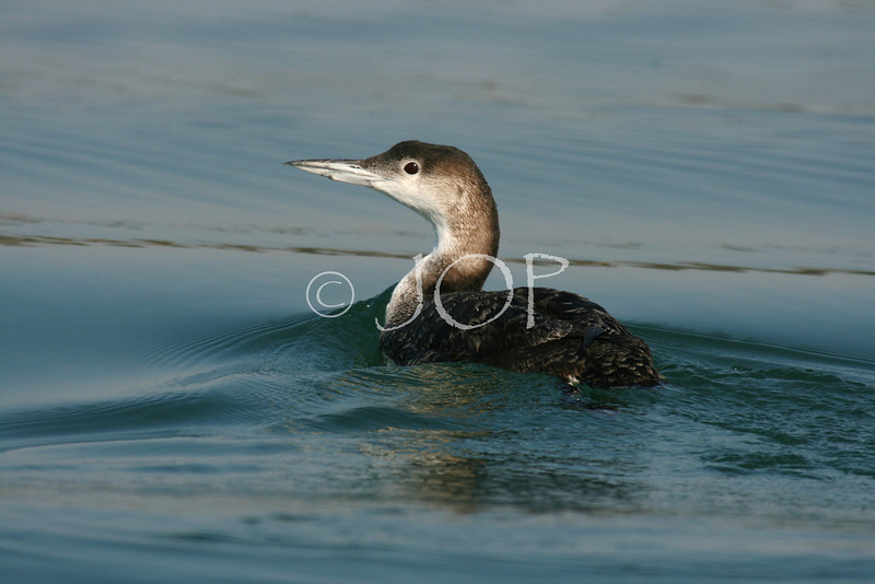 Common Loon #12