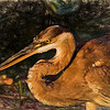 Great Blue Heron III Art