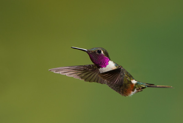 magenta throated hummingbird