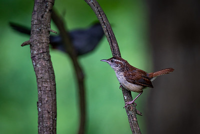 Carolina Wren and Grey Catbird in My Backyard