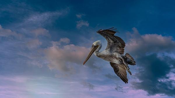 Pelican solitude