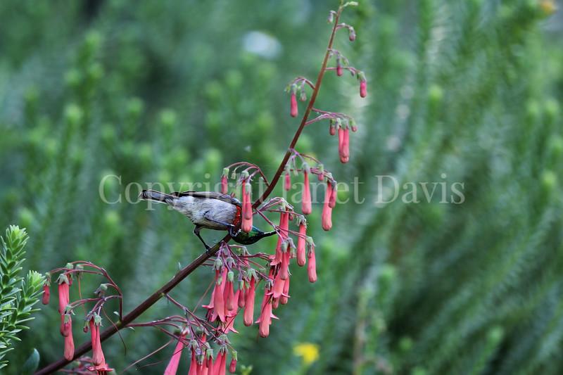 Cinnyris chalybeus-Lesser double collared sunbird 2