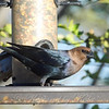 Brown-headed Cowbird In The Sunlight