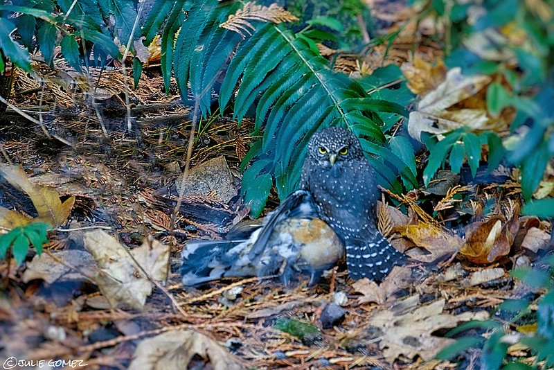 Northern Pigmy Owl with Varied Thrush