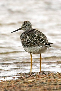 Lesser Yellowlegs on Platte River