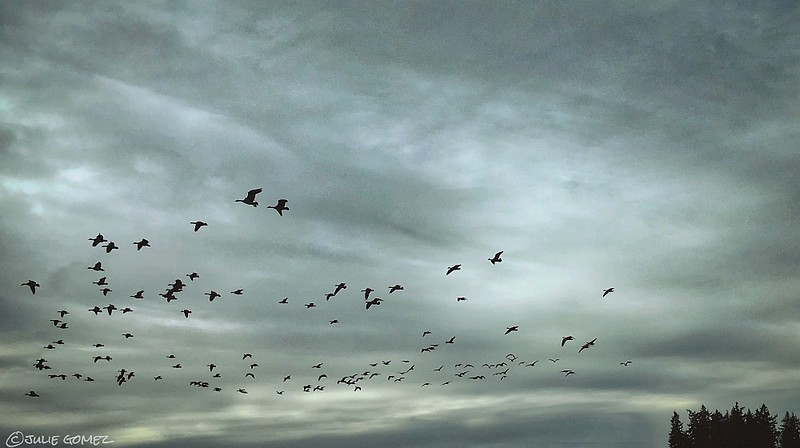 Restless Flight—Canada Geese