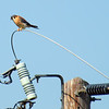 American Kestrel On His Favorite Perch