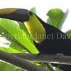 Ramphastos ambiguus swainsonii – Chestnut mandibled toucan 3