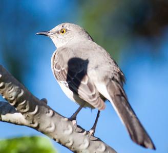 little mockingbird