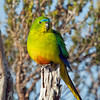 Orange-bellied Parrot on post