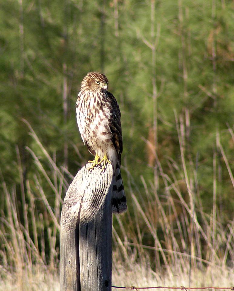 "NAB-111304-10  ""Hungry Eyes"" Immature hawk (possibly Cooper's Hawk), Shingle Springs, California."