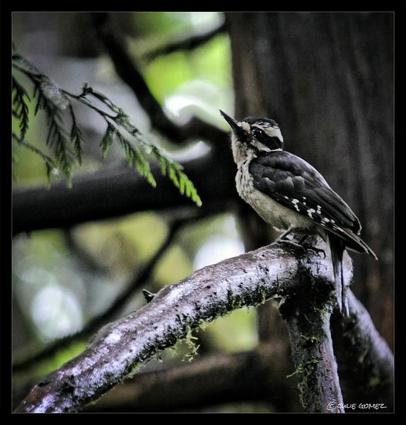 Fermale Hairy Woodpecker