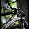 Fermale Hairy Woodpecker