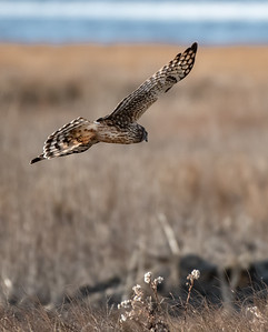 Northern Harrier (Grey Ghost juvenile male)