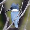 Quiet Kingfisher