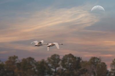 Snow Geese 4426