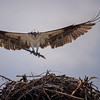 Osprey carrying branch to its nest