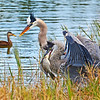 Blue winged Teal And Two Great Blue Herons