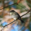 Eastern Phoebe View 1