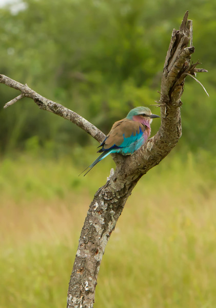 South African Roller