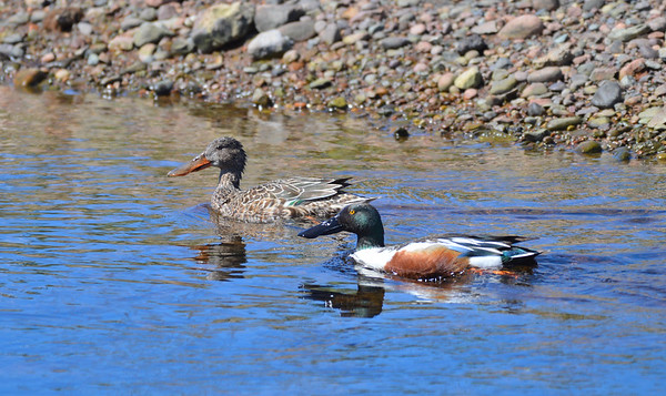Northern Shovelers, Male and Female