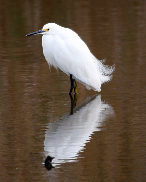 Snowy Egret (Egretta thula). Anahuac National Wildlife Refuge.  Anahuac, TX.