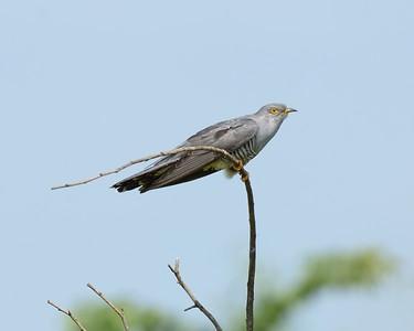 Cuckoo at Otmoor 25th May 2017