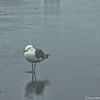 Western Gull—Larus occidentalis